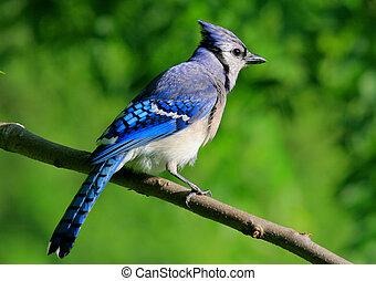 A Missouri blue jay perched on a limb