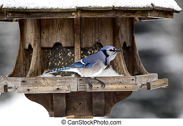 Blue Jay at Bird Feeder Winter Snow Storm Canada