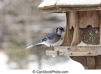 Blue Jay at Bird Feeder Winter