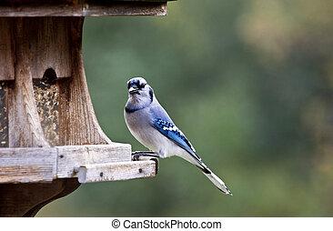 Blue Jay at feeder
