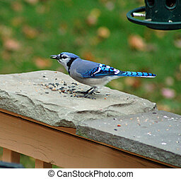 Blue Jay at Lunch