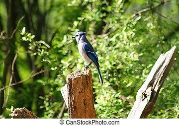 Blue jay bird on a tree stump