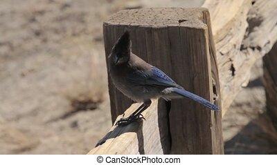 Blue Jay Bird, Yosemite Nationalpark, United States - Flat...