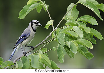 Blue Jay (Cyanocitta cristata) - Blue Jay perched on branch,...