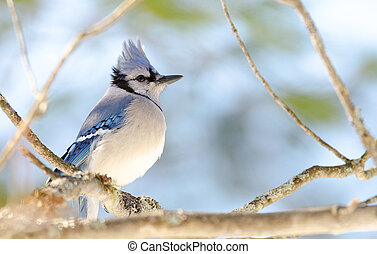 Blue Jay (Cyanocitta cristata) in early springtime, perched on a branch.