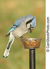Blue Jay (corvid cyanocitta) on a feeder with a green background