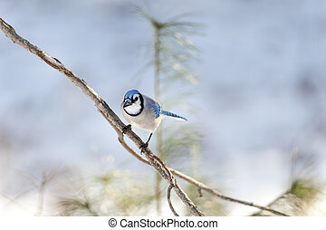 Blue Jay eye contact - Perched and attentive Blue Jay making...