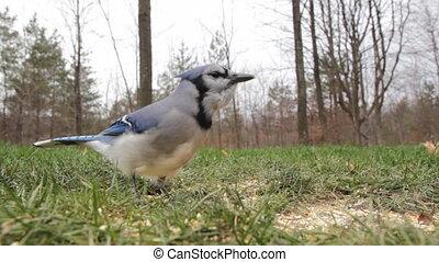 Blue jay feeds. - A blue jay feeds on bird seed. Shallow...