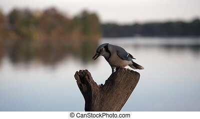 Blue jay lands to get a nut then flies away from the lake.