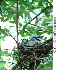 Adult bird with young in nest.