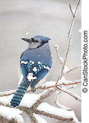 A blue jay perched on ice covered branches following a winter storm