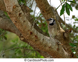 Blue Jay Perched on a Tree