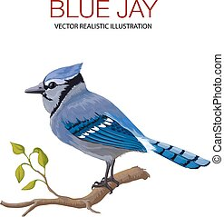 Blue Jay - Vector illustration made in a realistic style