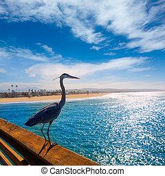 blue kócsag, ardea cinerea, alatt, newport, móló, kalifornia