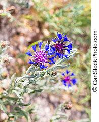 blue knapweed flower on meadow in Cappadocia
