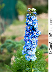 blue Larkspur flowers in the cottage garden - delphinium elatum