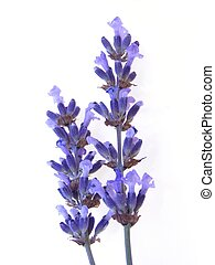 Blue lavender - Fine blue lavender herb against white...