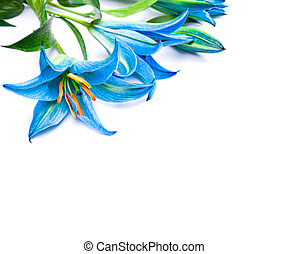 blue  lilies on the white background isolated