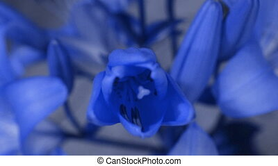 Blue Lily flower blooming, opening its blossom. Epic time...