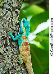 Blue lizard on a tree; Calotes Mystaceus