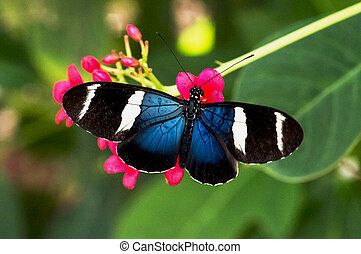 Blue Longwing - Blue longwing butterfly on red flowers in a...