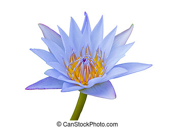 Blue lotus. - Blue lotus flower on a white background.