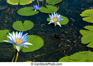 Blue Lotus Flowers with Green Lilly Pads on Pond