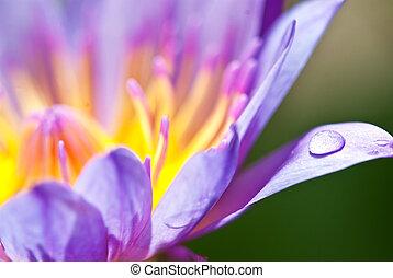 Blue lotus,