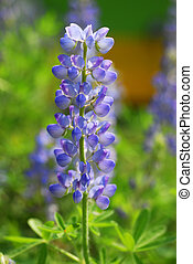 Blue Lupin Flower