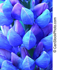 blue lupin - Close-up of blue lupin in the garden