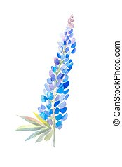 Watercolor drawing, botanical flower lupine, isolated on white background. Arctic Lupine, wild flower. Suit for postcard, element of wedding invitation.