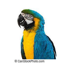 Blue Macaw on white background