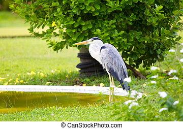 blue madár, kócsag, nagy