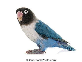 blue masqued lovebird in front of white background