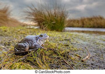 Blue Moor frog in breeding habitat