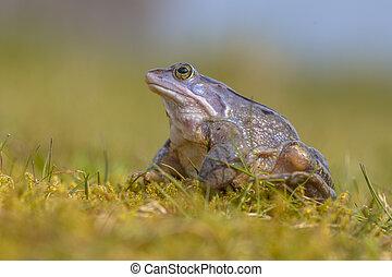 Blue Moor frog looking up