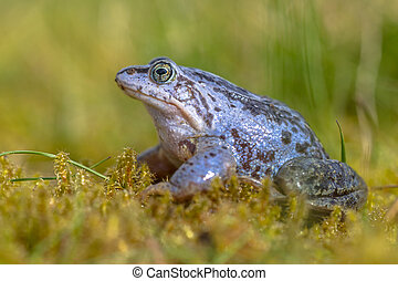 Blue Moor frog seen from side