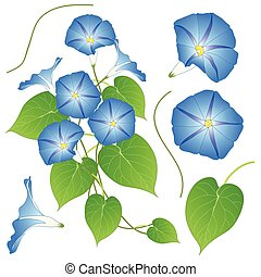Blue Morning Glory. isolated on White Background. Vector...