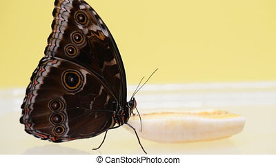 Blue Morpho butterfly eating banana uses its proboscis...