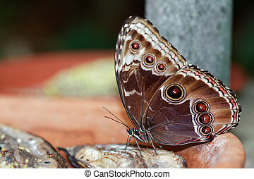 Blue Morpho Butterfly ( morpho peleides) feeding on some...