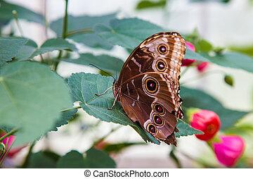 Blue morpho butterfly resting on leaf