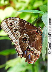 south american blue morpho (morpho peleides) butterfly