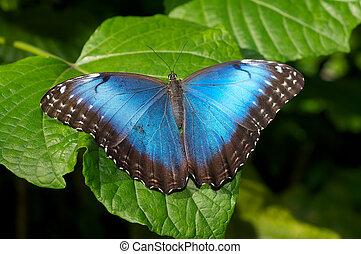 Blue Morpho Butterlfy on a broad leaf plant.