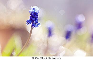 Blue Muscari flower