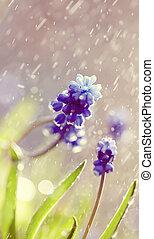 Blue Muscari flowers in the rain