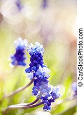 Blue Muscaris