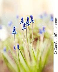 Blue muskari blossom