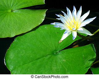 Blue Nile Waterlily