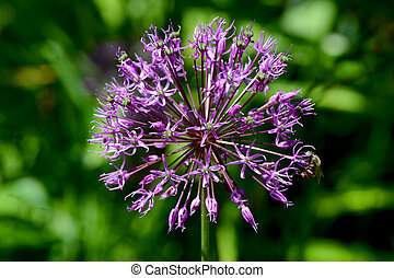 blue onion flower