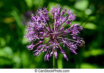 blue onion flower